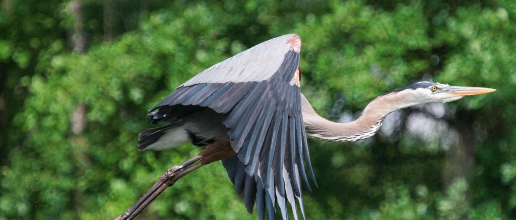 Great Blue Heron near Bayou Bartholomew and Pine Bluff, Arkansas. Credit: Mitch Wessels Photography, https://mitchwessels.smugmug.com and go2worku@yahoo.com