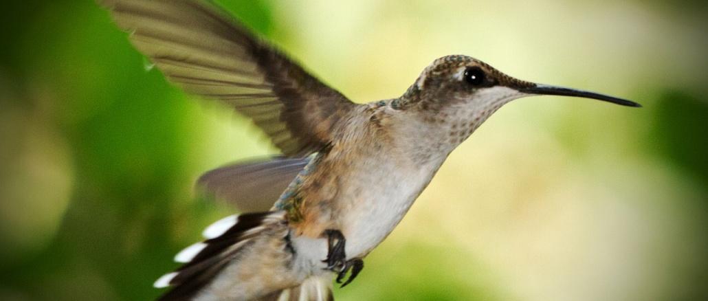 Ruby throated hummingbird (female). Credit: barryjones/Pixabay