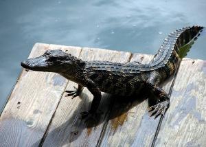 American alligator. Credit: Paulbr75/Pixabay