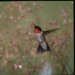 Ruby throated hummingbird. Credit: PublicDomainImages/Pixabay