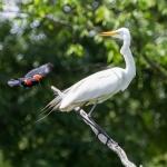 Blackbird Meets Egret. Near Pine Bluff, AR. Credit: https://mitchwessels.smugmug.com / Mitch Wessels Photography