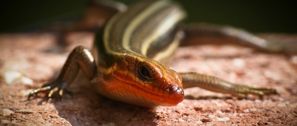Five-lined skink. Credit: Skeeze/ Pixabay Learn About Reptiles