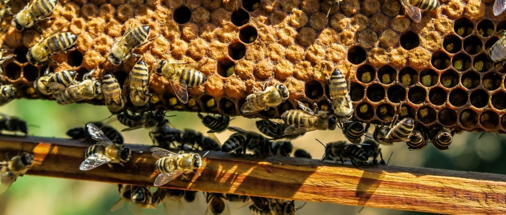 Honeybees on their honeycomb at an apiary. Beekeeping produces honey and other products. Credit: Pexels/Pixabay